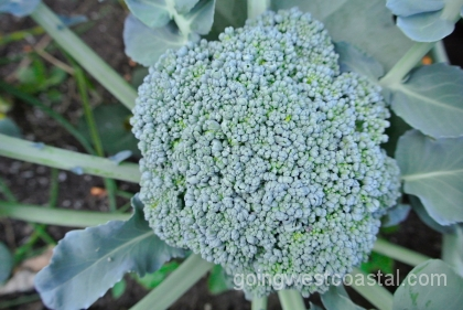 broccoli-at-july-12-harvest