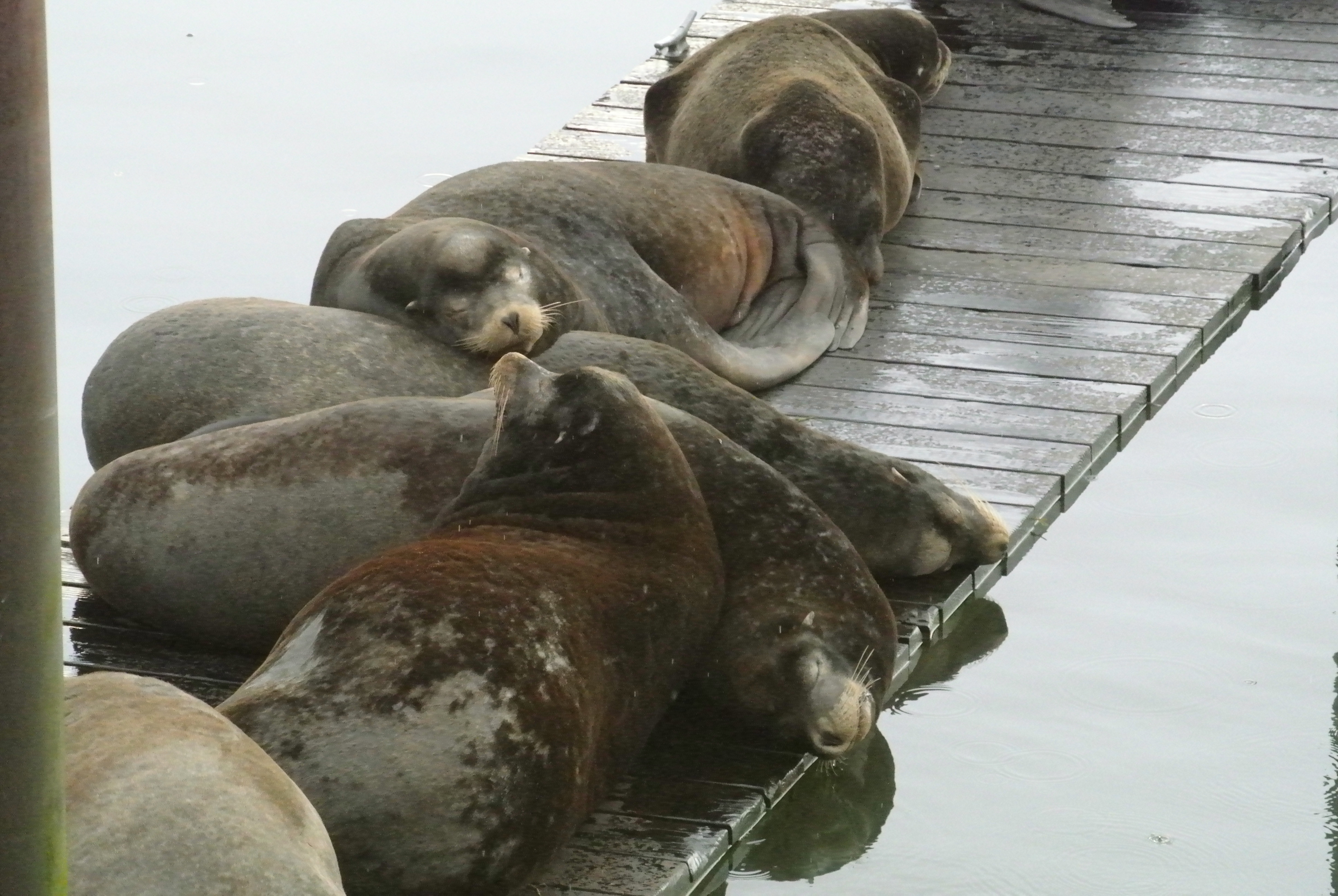 Road trip: Hanging with the Sea Lions in the Port of Astoria